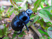 A beautiful dung beetle (Anoplotrupes stercorosus) in the forest.