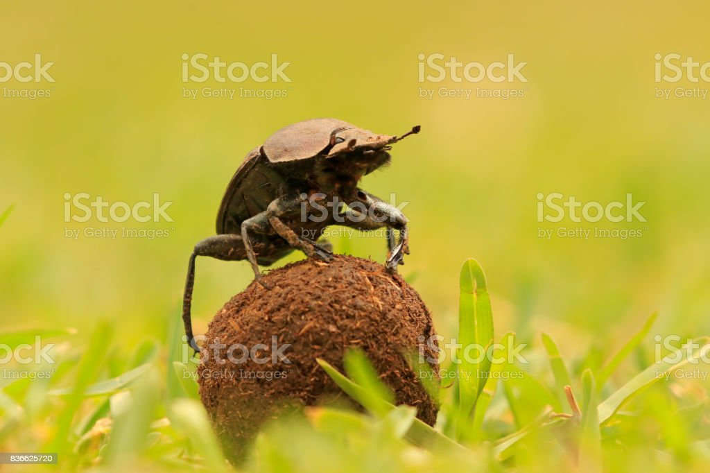 Dung beetle insect rolling ball Africa wildlife bush Kruger national park reproduction parenting stock photo