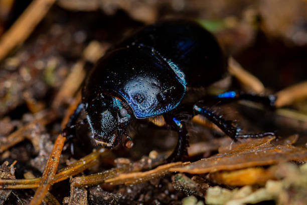 A dung beetle on the forest floor. Dung beetles are between 10 and 45mm long and are day and night active. They are quite clumsy in flight and have a strong chitin armor. animals with big penis stock pictures, royalty-free photos & images