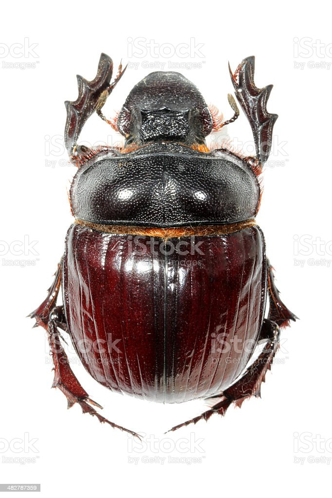 Dung beetle stock photo