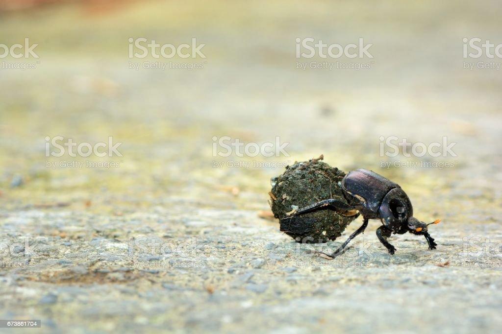 Dung beetle(Gymnopleurus sp) stock photo