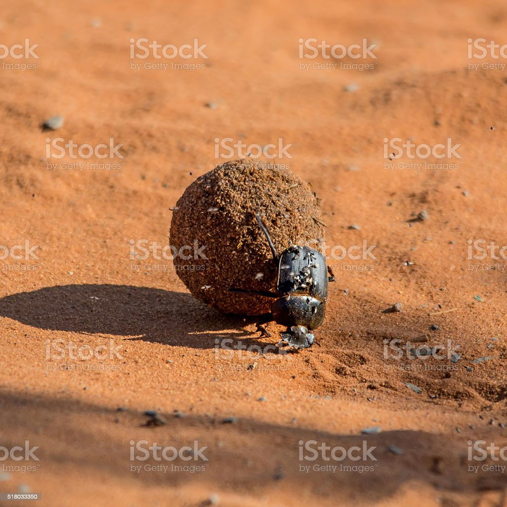 Dung Beetle Pushing Dungball stock photo