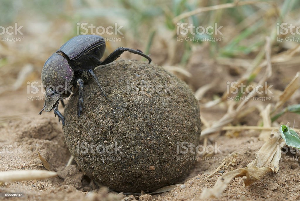 dung beetle rolling ball stock photo