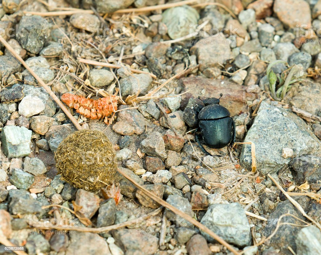 Dung Beetle with Dung Ball stock photo