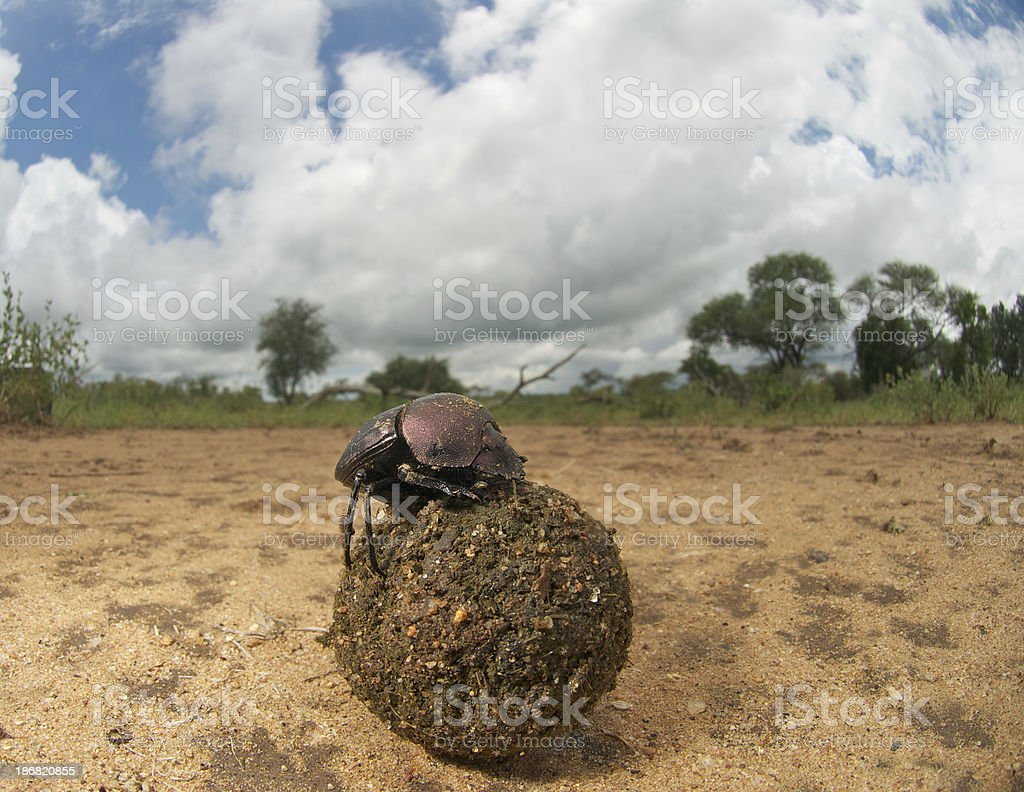 dung beetle with dungball, wide angle stock photo