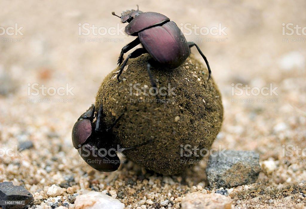 Dung beetles royalty-free stock photo