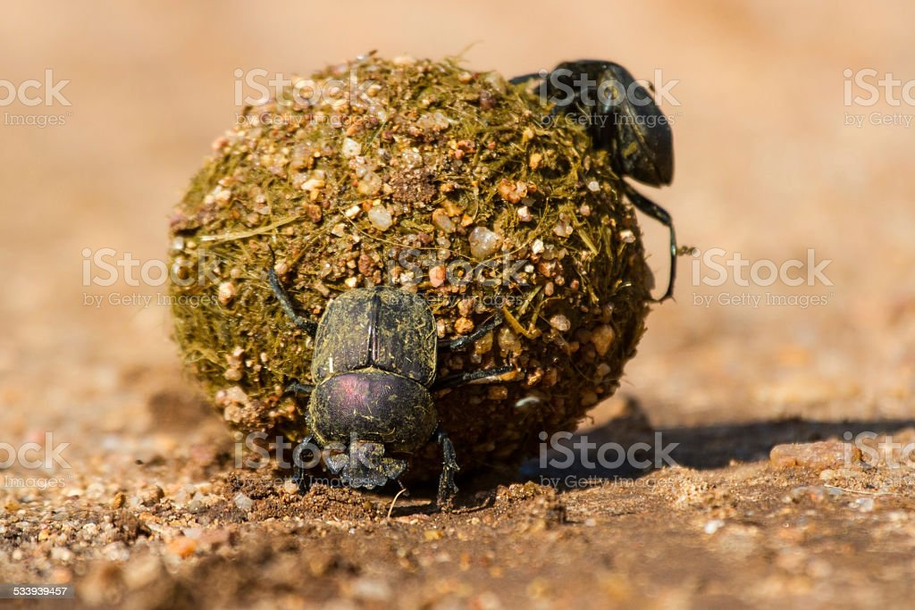 Dung beetles rolling their ball with eggs inside stock photo