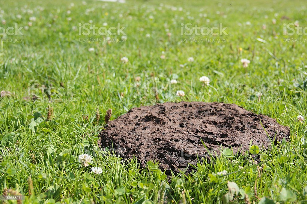 Dung Cow stock photo