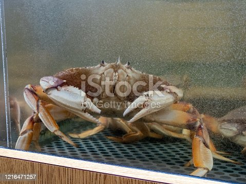 Dungeness crab at edge of water tank inside a seafood restaurant and market