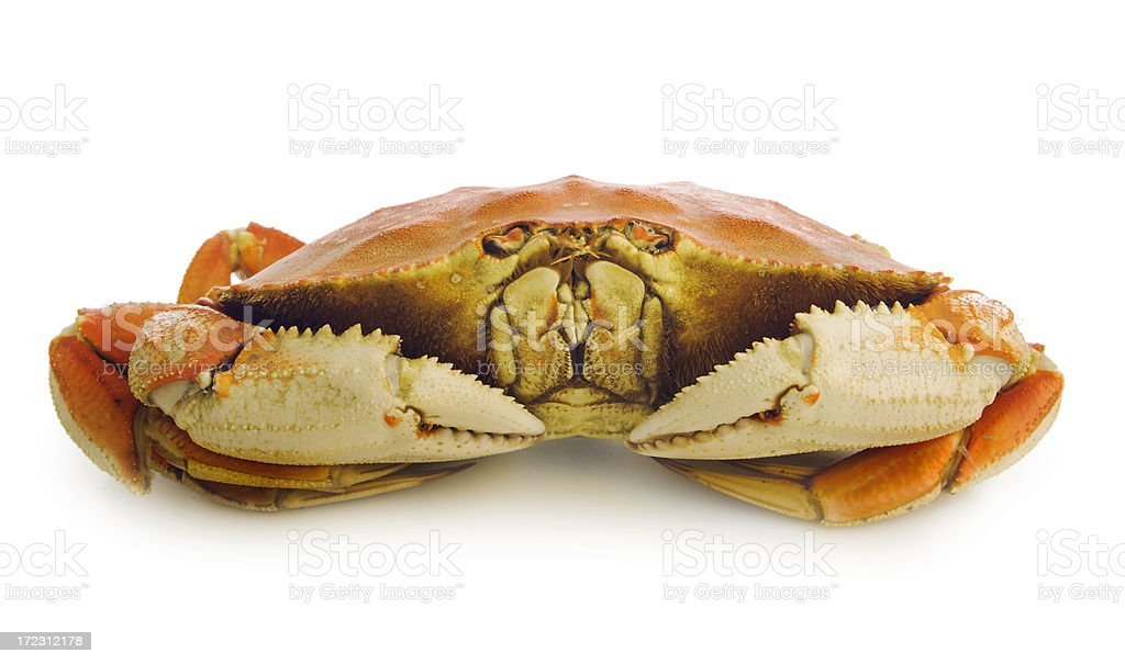 Dungeness Crab Isolated royalty-free stock photo