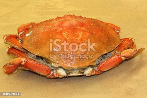 A bright orange dungeness Crab ready to eat