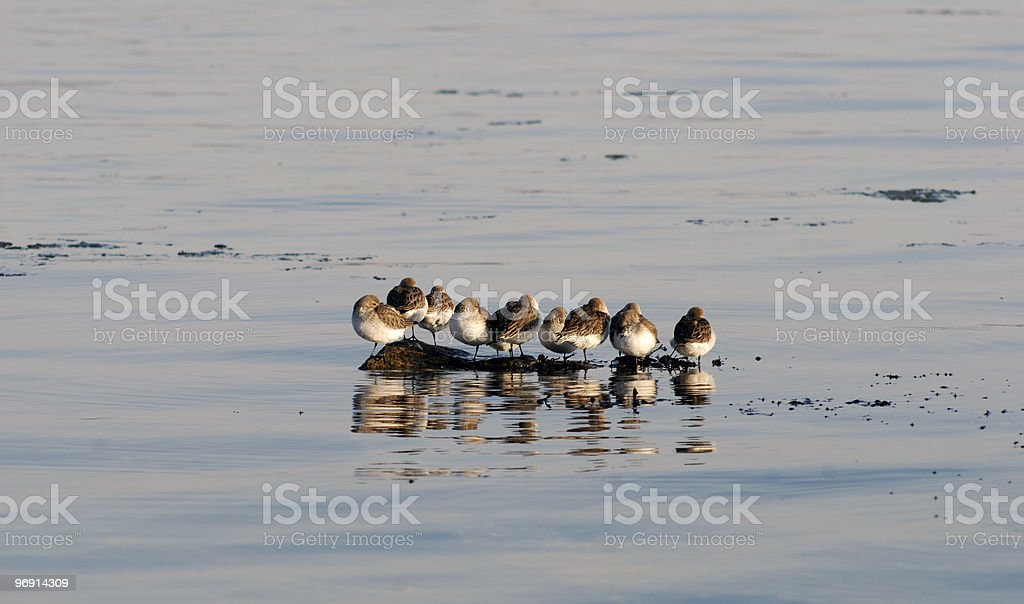 Dunlin Group royalty-free stock photo