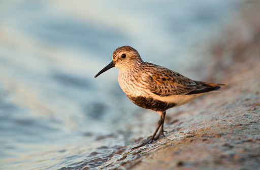 Dunlin Photographed In The Last Of The Evenings Light Stock Photo - Download Image Now
