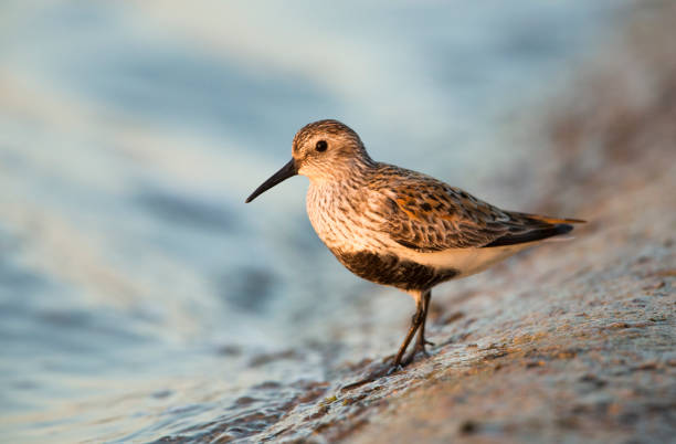 Dunlin photographed in the last of the evenings light. stock photo