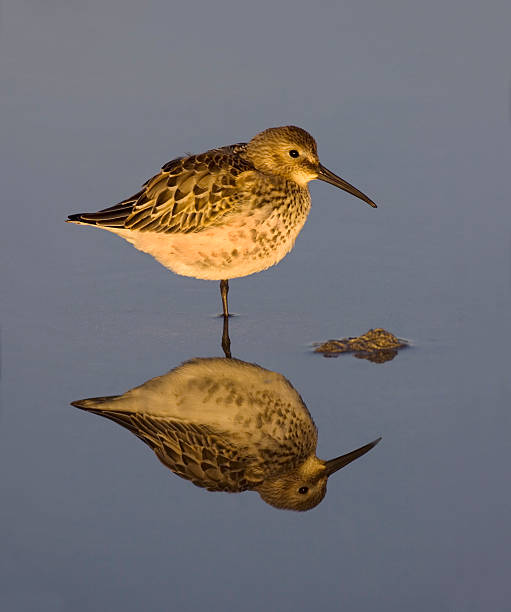 Dunlin with reflection. stock photo