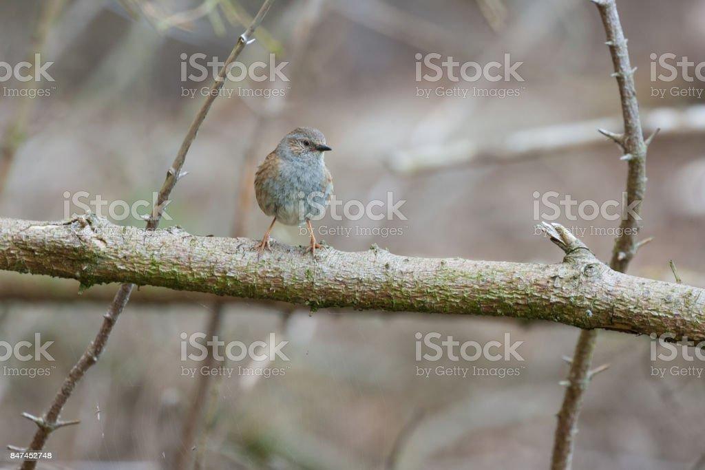 dunnock in woodland stock photo
