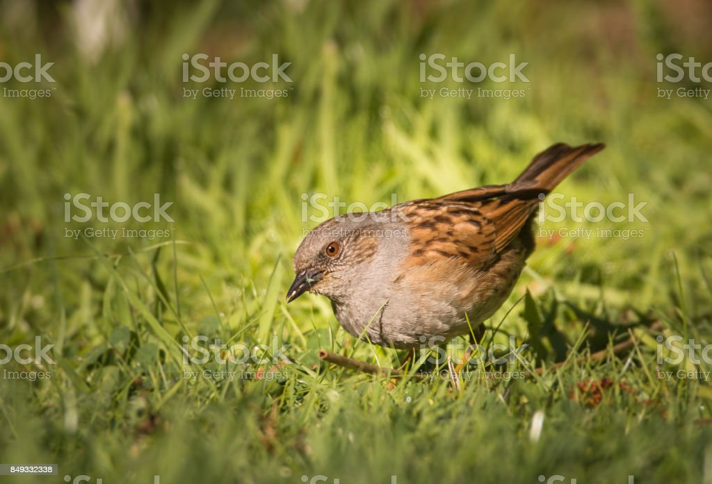 dunnock looking for food stock photo
