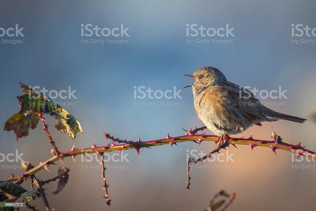Dunnock singing bird stock photo