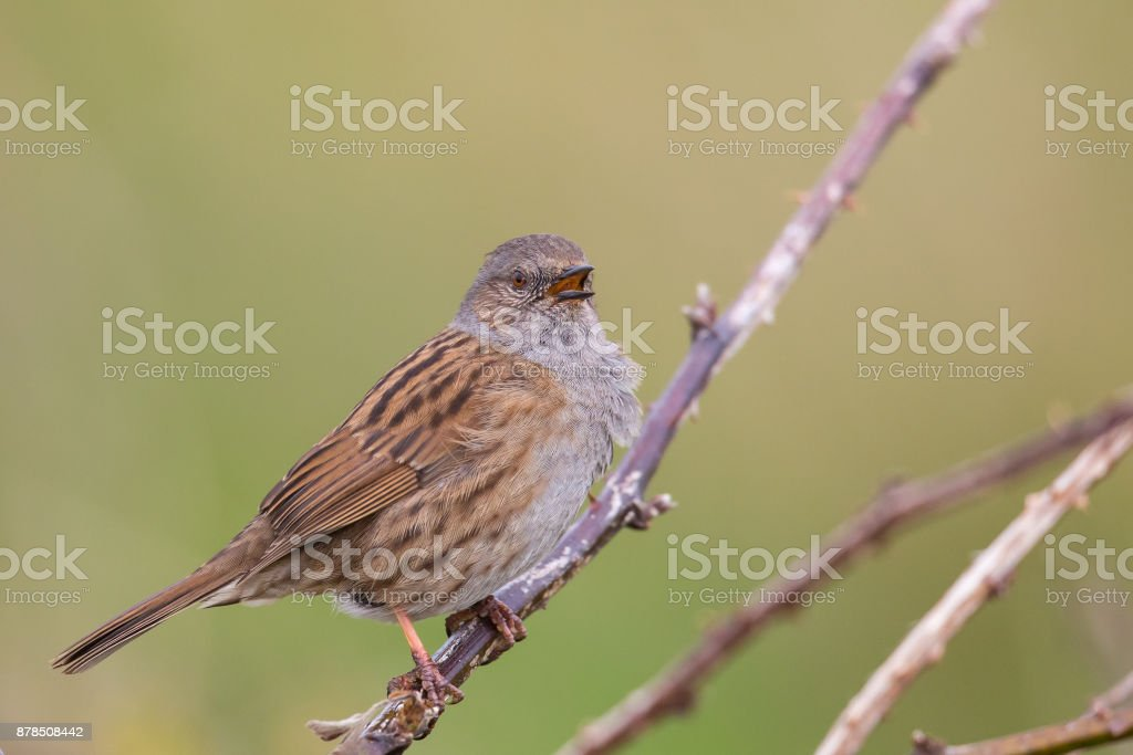 Dunnock singing stock photo