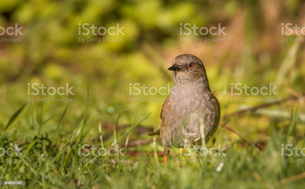 dunnock standing in the garden stock photo