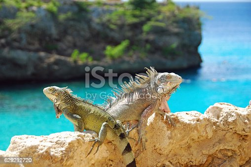 Two Iguana sitting high up above the Caribbean Sea .