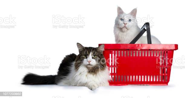 Duo of two cats one sitting in red shopping basket and one laying in picture id1077203932?b=1&k=6&m=1077203932&s=612x612&h=ybir7dbyvgpd9vag3hj8uocnosnju53v9gvqgfxcghi=