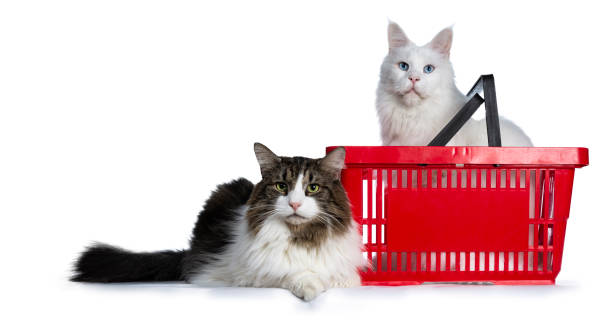 Duo of two cats one sitting in red shopping basket and one laying in picture id1077203932?b=1&k=6&m=1077203932&s=612x612&w=0&h=1rrgnwiaushbiwnxowrtjrx4xodi0pzpapain8zmrso=