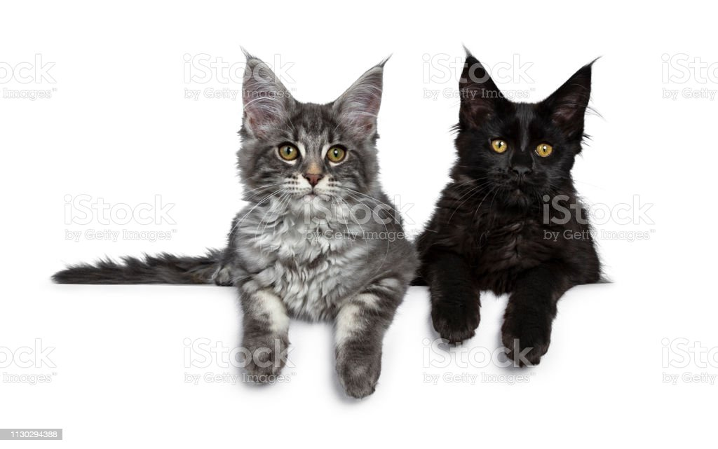 Duo Of Two Cute Blue Tabby And Solid Black Maine Coon Cat Kittens Laying Beside Each Other Facing Front Looking At Camera Isolated On White Background Stock Photo Download Image Now