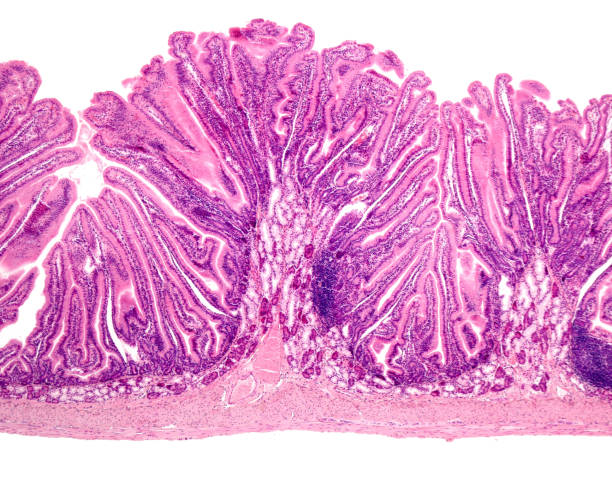 Duodenum. Brunner glands First portion of the duodenum showing the Brunner glands located on the submucosa on the circular folds or Kerckring valves. Here, the intestinal villi are not very long and have a laminar shape. light micrograph stock pictures, royalty-free photos & images
