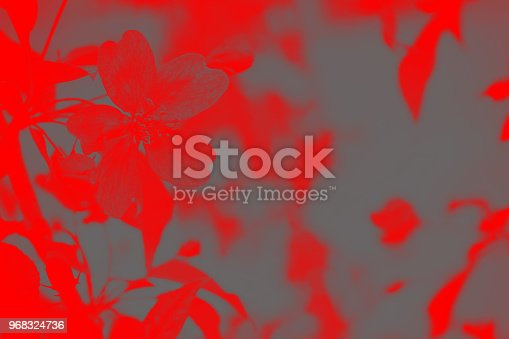 istock Duotone image gray red blossom in the garden. 968324736