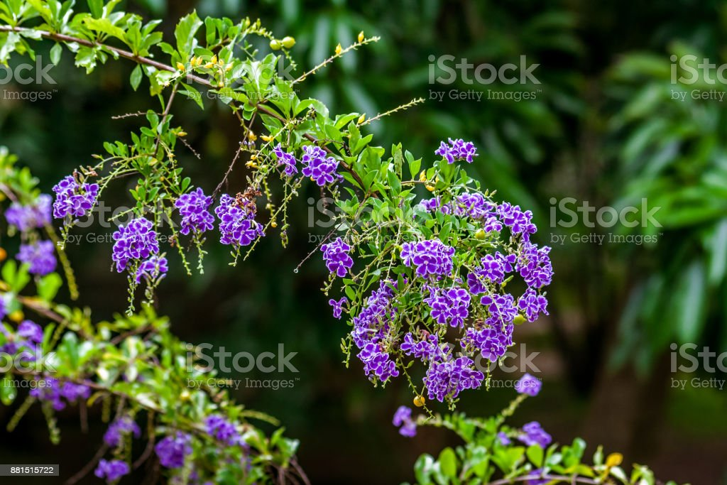Duranta Erecta stock photo