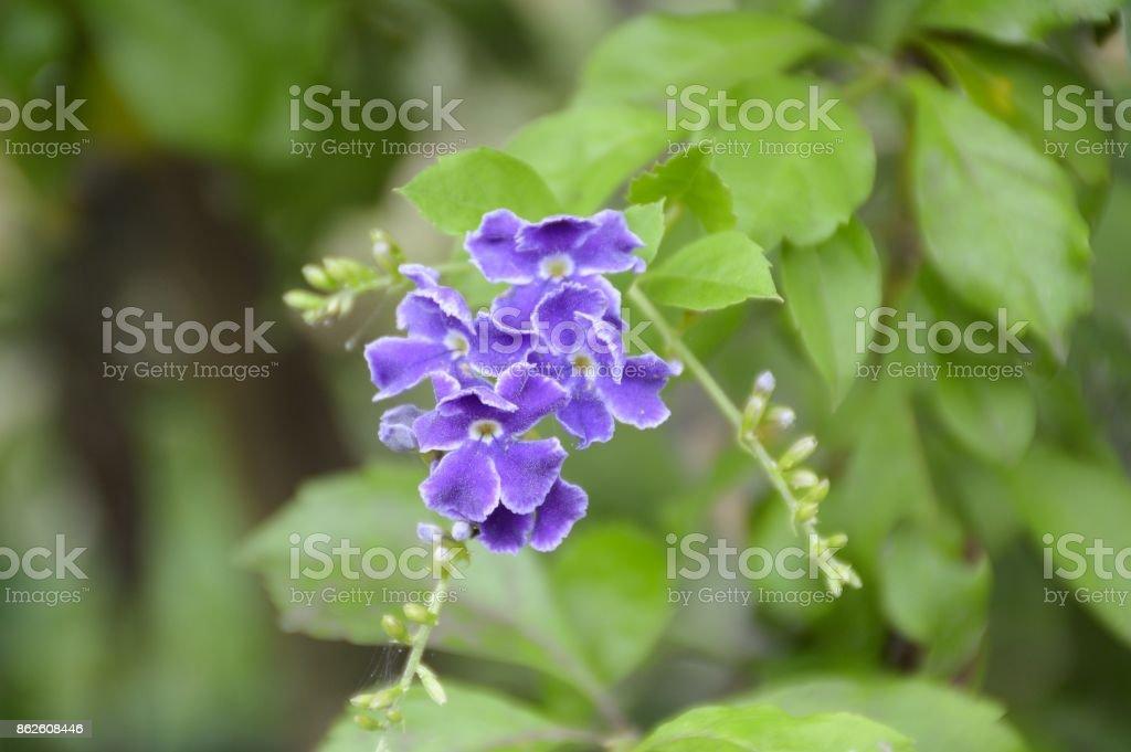 Duranta repens flower stock photo
