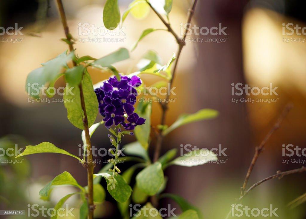Duranta repens (Golden Dew Drops) in the garden stock photo