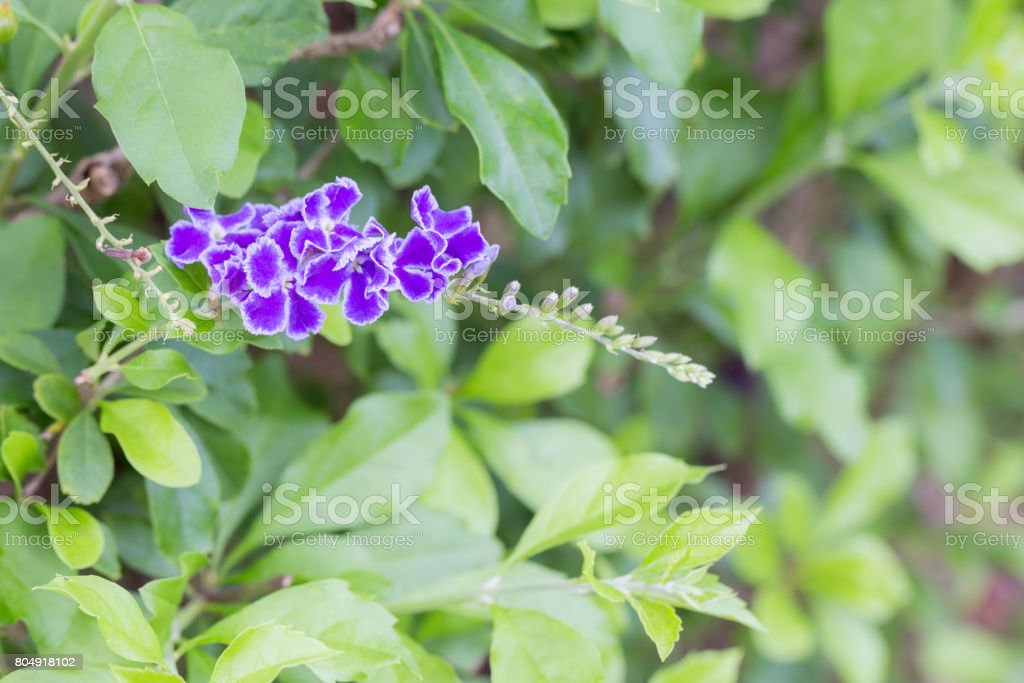 Duranta repens L., purple flower stock photo