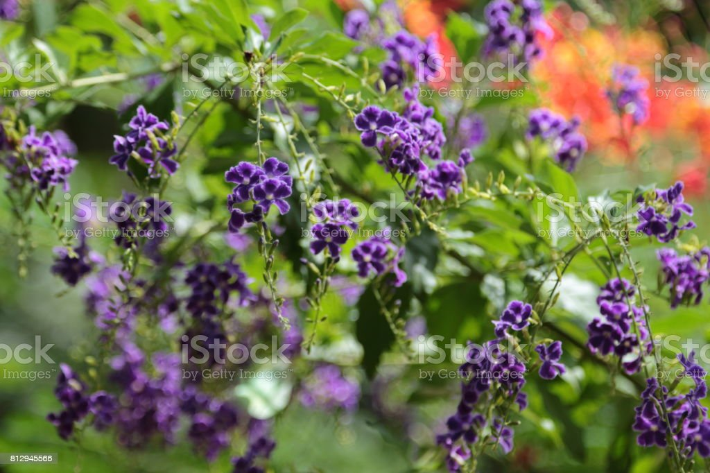 Duranta repens many beautiful purple flowers in the garden. stock photo