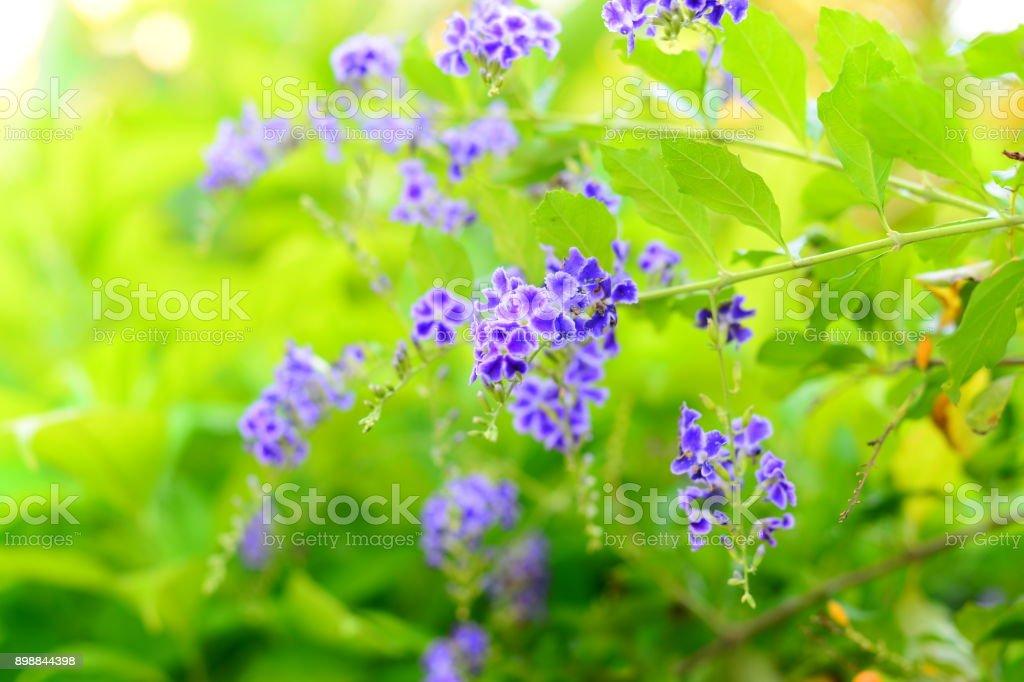 Duranta repens Sky flower.. stock photo