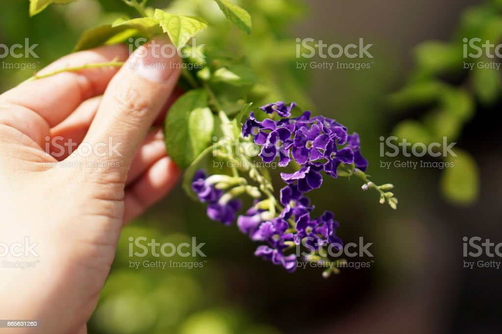 Duranta repens (Golden Dew Drops)  with blur background stock photo