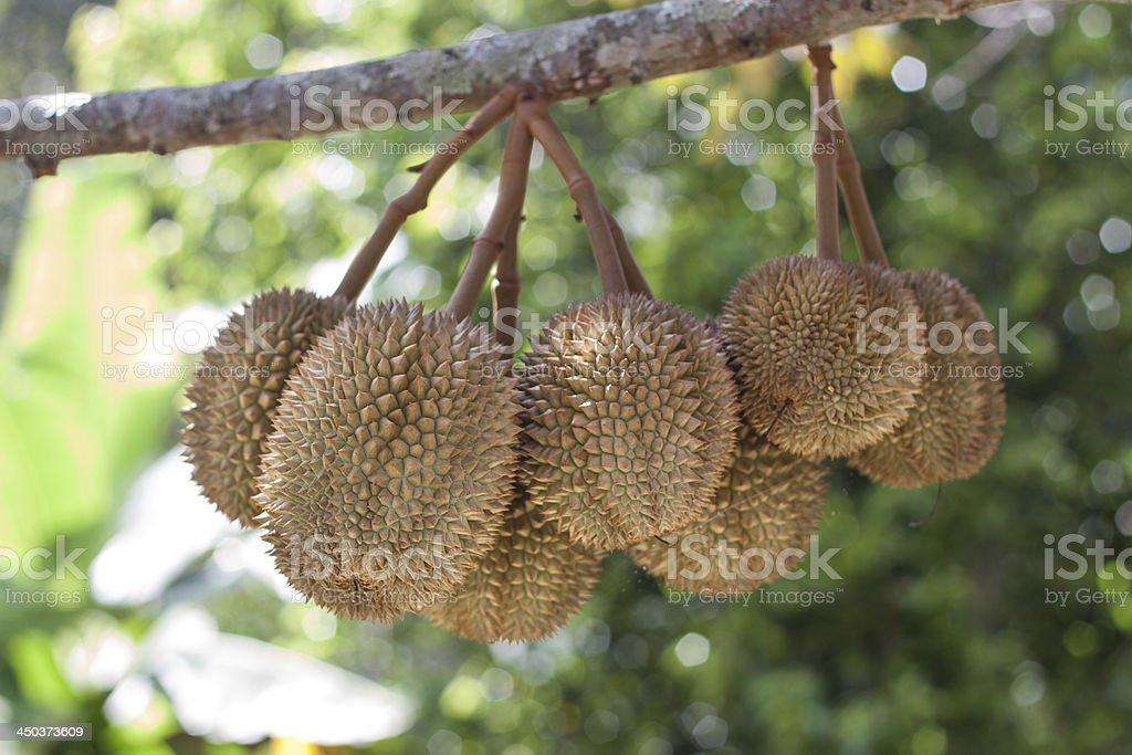 Durian fruit stem hanging on tree stock photo