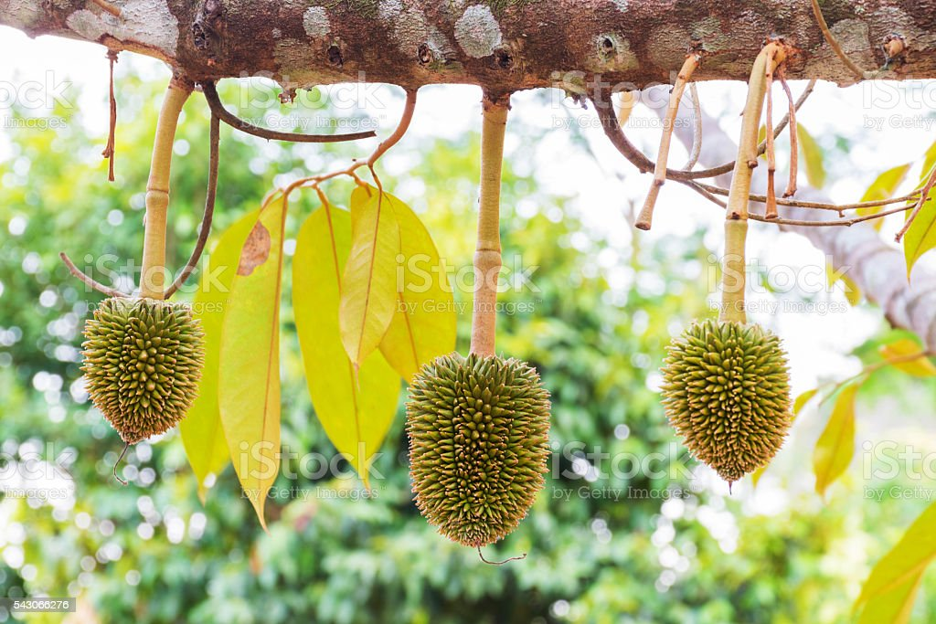 Durian on the tree in the garden stock photo