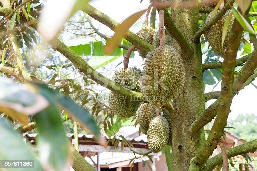 istock Durian tree in the garden  961872616 istock Durian tree