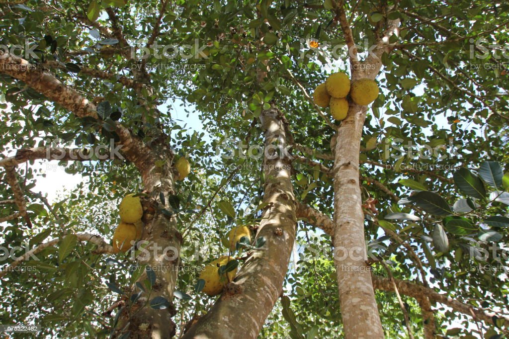 Durian Tree with Fruits, Zanzibar, Tanzania, Indian Ocean, Africa royalty-free stock photo