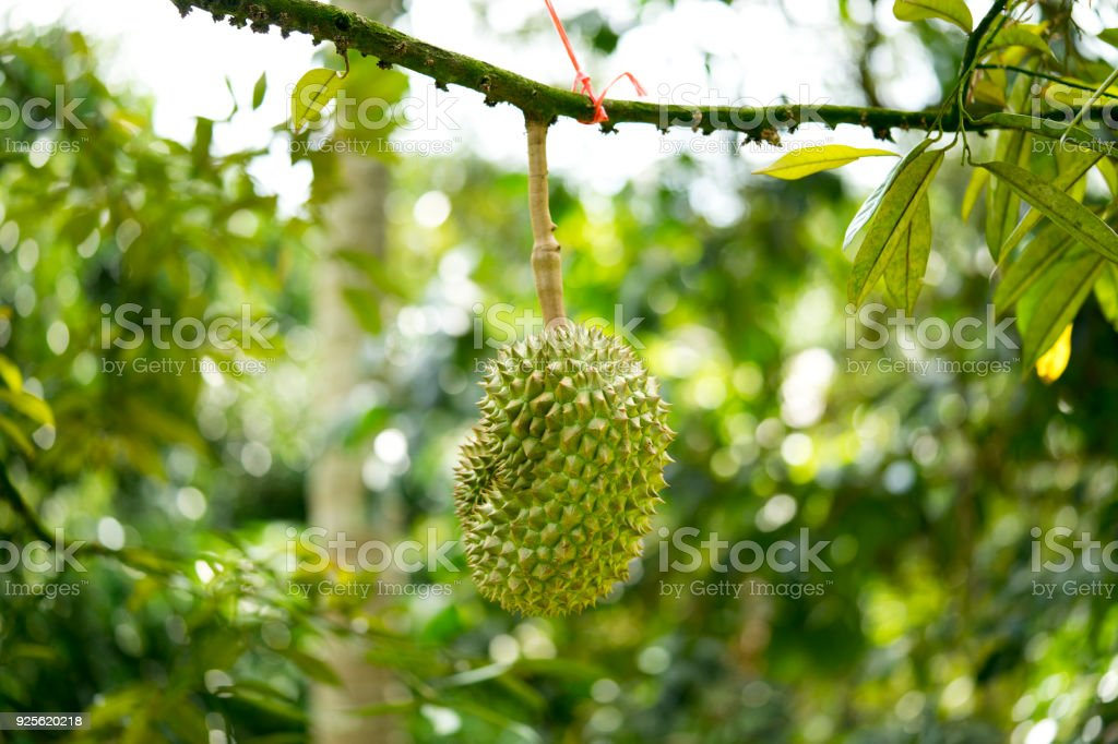 Durian was honored to be the king of fruit. Fruits grown in Chumphon, southern Thailand. stock photo