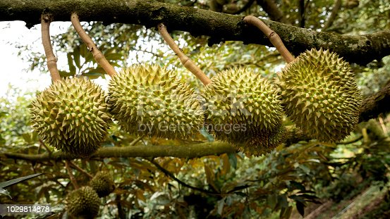 The Durians Arranging on The Tree in The Garden