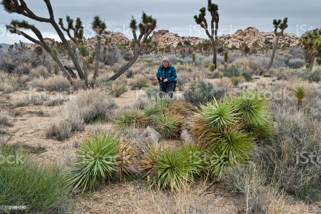 Woman Viewing Vandalized Joshua Trees During the 2018 - 2019 US Government shutdown, protected Joshua Trees at Joshua Tree National Park were vandalized. This woman hiker was observing the damage to the trees that were cut down next to the Wall Street Mill Trail. Adult Stock Photo