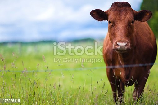 Brown cow standing in the field