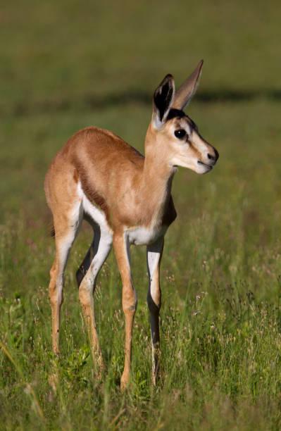 under regnperioden i kalahari, är det den tid då alla springbok hatchlings föds dra nytta av överflödet av anbud gröna betesmarker. - gemsbok green bildbanksfoton och bilder