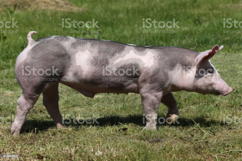 Duroc breed pig at animal farm on pasture stock photo