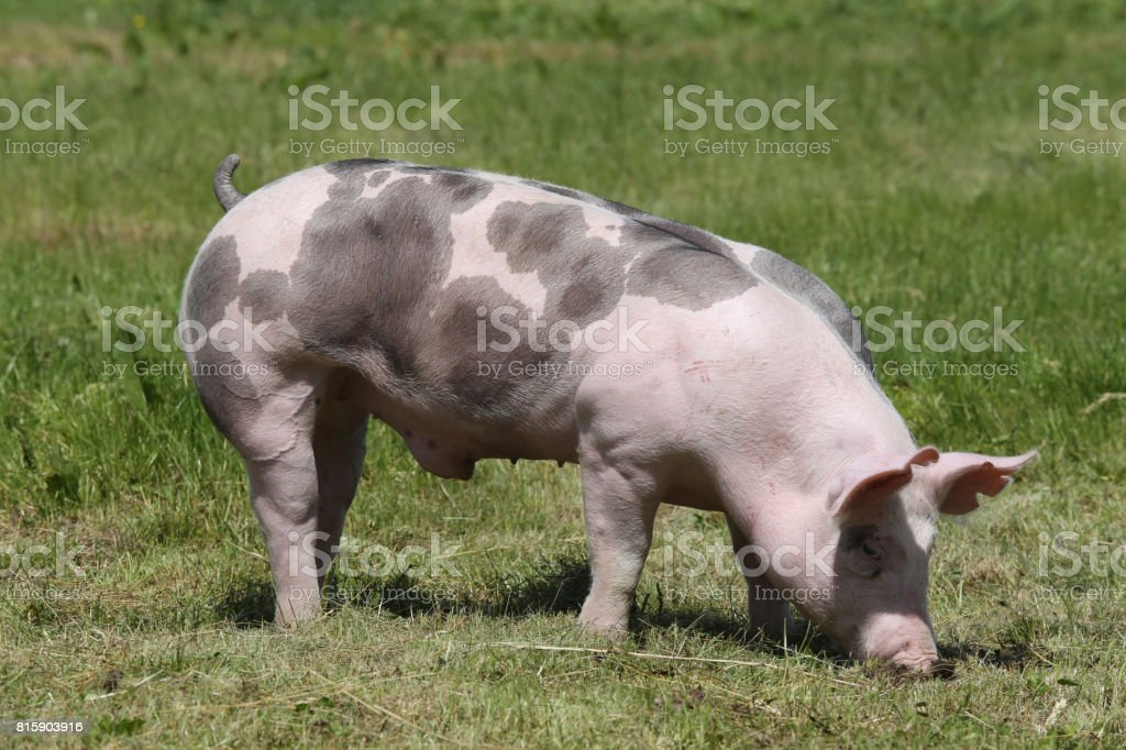 Duroc breed piglet posing at animal farm on pasture stock photo