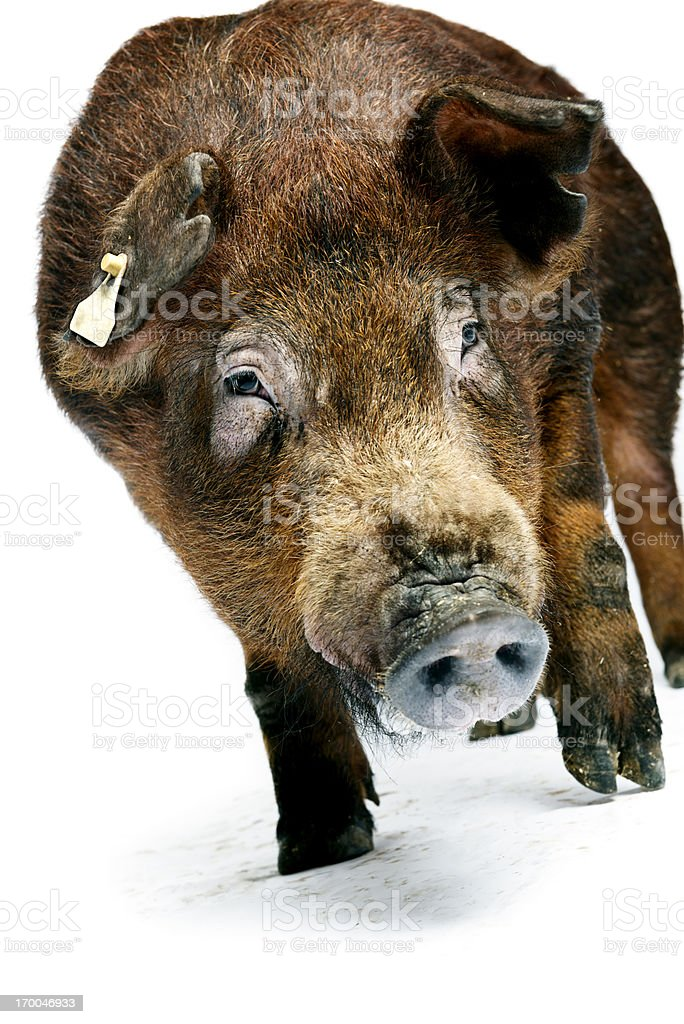 Duroc Pig Against White Background stock photo