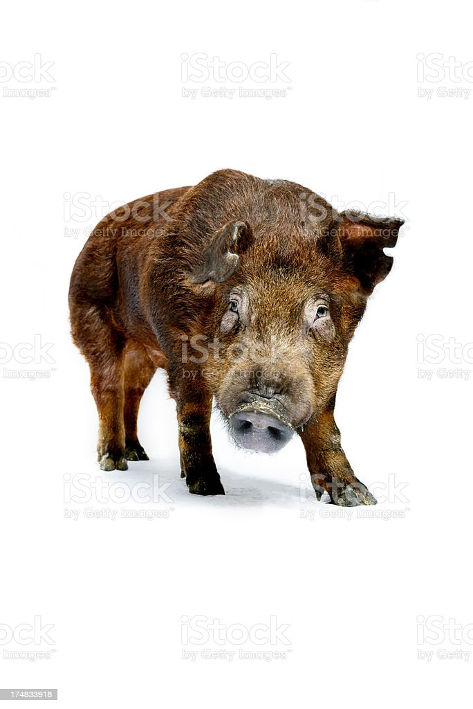Duroc Pig On White Background stock photo